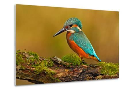 Beautiful Kingfisher with Clear Green Background. Kingfisher, Blue and Orange Bird Sitting on the B-Ondrej Prosicky-Metal Print