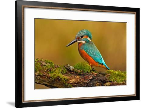 Beautiful Kingfisher with Clear Green Background. Kingfisher, Blue and Orange Bird Sitting on the B-Ondrej Prosicky-Framed Art Print