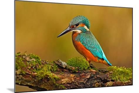 Beautiful Kingfisher with Clear Green Background. Kingfisher, Blue and Orange Bird Sitting on the B-Ondrej Prosicky-Mounted Photographic Print