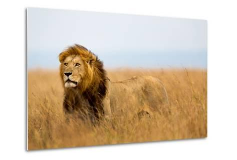Mighty Lion Watching the Lionesses Who are Ready for the Hunt in Masai Mara, Kenya-Maggy Meyer-Metal Print