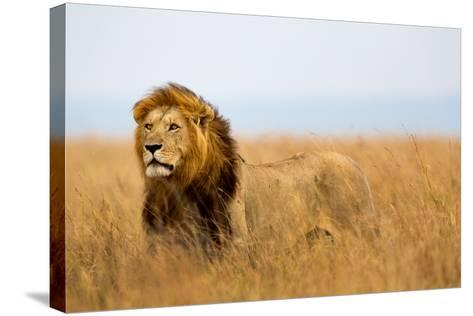 Mighty Lion Watching the Lionesses Who are Ready for the Hunt in Masai Mara, Kenya-Maggy Meyer-Stretched Canvas Print