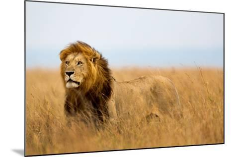 Mighty Lion Watching the Lionesses Who are Ready for the Hunt in Masai Mara, Kenya-Maggy Meyer-Mounted Photographic Print