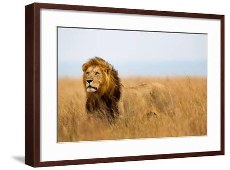 Mighty Lion Watching the Lionesses Who are Ready for the Hunt in Masai Mara, Kenya-Maggy Meyer-Framed Art Print