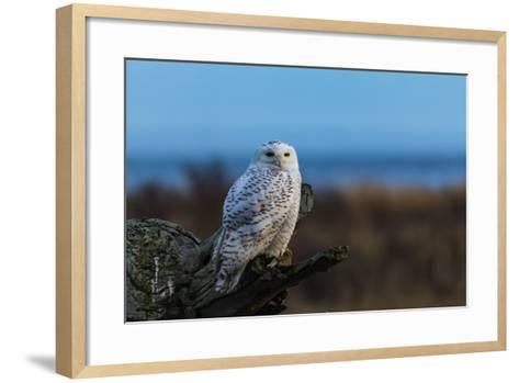 Wildlife in Boundary Bay Series - Beautiful Snowy Owl Sitting on Driftwood at Sunset Time 1- poemnist-Framed Art Print