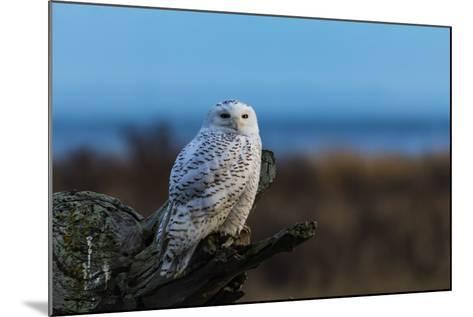 Wildlife in Boundary Bay Series - Beautiful Snowy Owl Sitting on Driftwood at Sunset Time 1- poemnist-Mounted Photographic Print