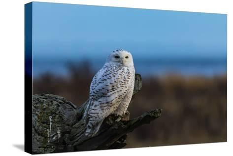Wildlife in Boundary Bay Series - Beautiful Snowy Owl Sitting on Driftwood at Sunset Time 1- poemnist-Stretched Canvas Print