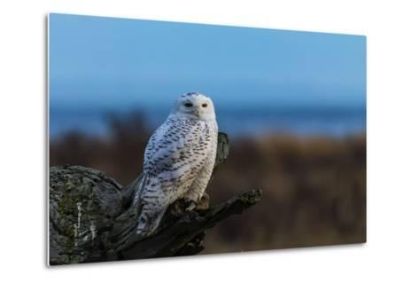 Wildlife in Boundary Bay Series - Beautiful Snowy Owl Sitting on Driftwood at Sunset Time 1- poemnist-Metal Print