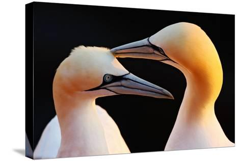 Northern Gannet, Detail Head Portrait with Evening Sun and Dark Orange Sea in the Background, Beaut-Ondrej Prosicky-Stretched Canvas Print