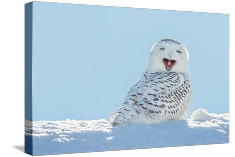 Snowy Owl Yawning, Which Makes it Look like it's Laughing. Copy Space to Left.- James Pintar-Stretched Canvas Print