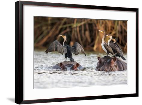 African Darter, Anhinga Rufa, Sitting on the Back of Hippopotamus,- sichkarenko com-Framed Art Print
