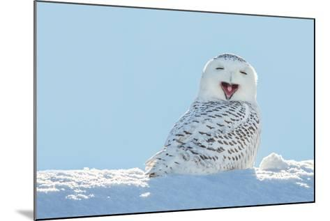 Snowy Owl Yawning, Which Makes it Look like it's Laughing. Copy Space to Left.- James Pintar-Mounted Photographic Print