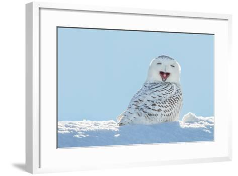 Snowy Owl Yawning, Which Makes it Look like it's Laughing. Copy Space to Left.- James Pintar-Framed Art Print