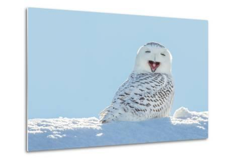Snowy Owl Yawning, Which Makes it Look like it's Laughing. Copy Space to Left.- James Pintar-Metal Print