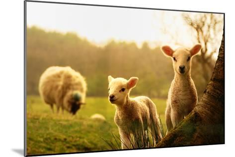 Spring Lambs-Drew Rawcliffe-Mounted Photographic Print