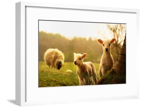 Spring Lambs-Drew Rawcliffe-Framed Art Print