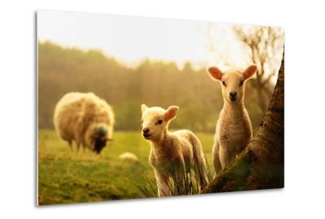 Spring Lambs-Drew Rawcliffe-Metal Print