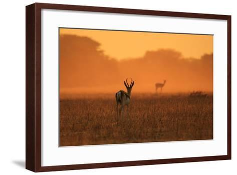 Springbok Antelope - African Wildlife Background - Sunset Gold and Colors in Nature-Stacey Ann Alberts-Framed Art Print