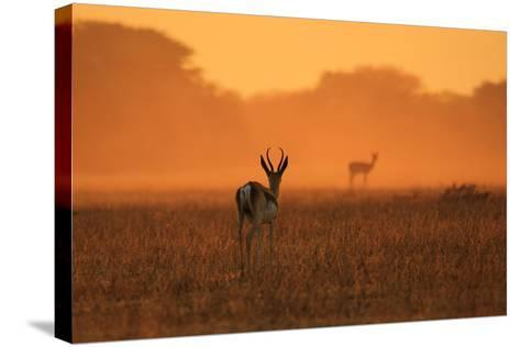 Springbok Antelope - African Wildlife Background - Sunset Gold and Colors in Nature-Stacey Ann Alberts-Stretched Canvas Print