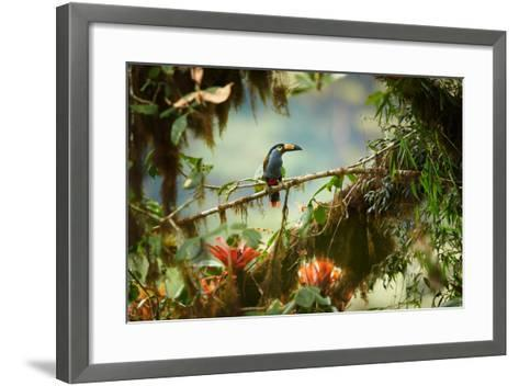 Shy High Altitude Andean Colorful Plate-Billed Mountain Toucan Andigena Laminirostris Perched on Mo-Martin Mecnarowski-Framed Art Print