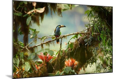 Shy High Altitude Andean Colorful Plate-Billed Mountain Toucan Andigena Laminirostris Perched on Mo-Martin Mecnarowski-Mounted Photographic Print