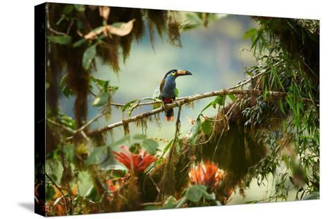 Shy High Altitude Andean Colorful Plate-Billed Mountain Toucan Andigena Laminirostris Perched on Mo-Martin Mecnarowski-Stretched Canvas Print