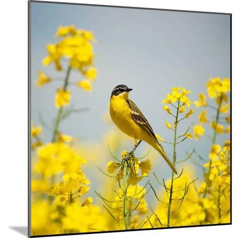 Bird in Yellow Flowers, Rapeseed-belu gheorghe-Mounted Photographic Print