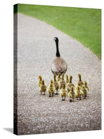 (Shallow DOF on Babies) a Cute Family of Geese Walking on a Pebble Stone Path in a Local Wildlife P-Annette Shaff-Stretched Canvas Print