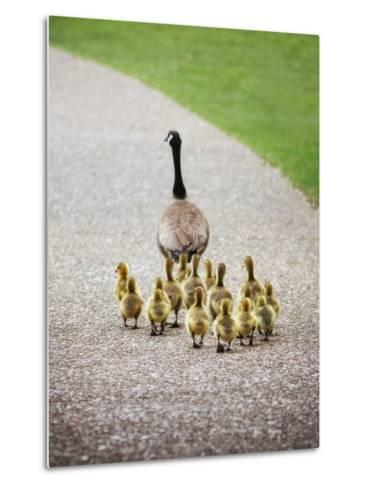 (Shallow DOF on Babies) a Cute Family of Geese Walking on a Pebble Stone Path in a Local Wildlife P-Annette Shaff-Metal Print