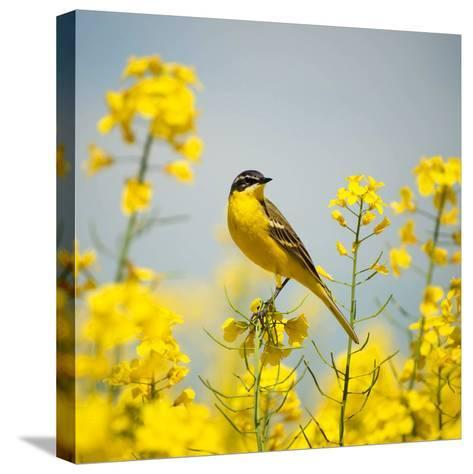Bird in Yellow Flowers, Rapeseed-belu gheorghe-Stretched Canvas Print