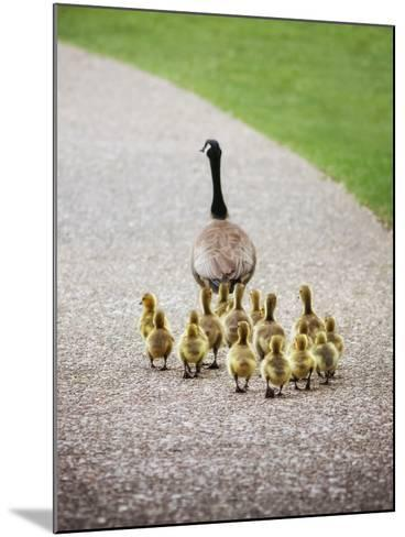 (Shallow DOF on Babies) a Cute Family of Geese Walking on a Pebble Stone Path in a Local Wildlife P-Annette Shaff-Mounted Photographic Print
