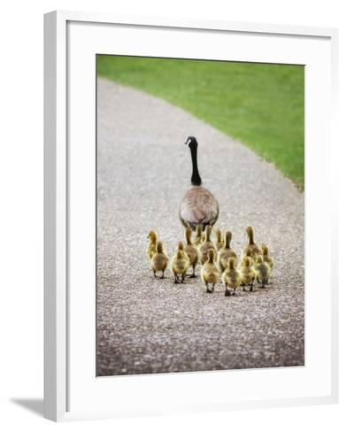 (Shallow DOF on Babies) a Cute Family of Geese Walking on a Pebble Stone Path in a Local Wildlife P-Annette Shaff-Framed Art Print