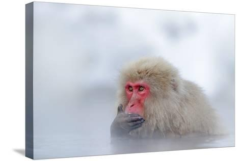 Monkey Japanese Macaque, Macaca Fuscata, Red Face Portrait in the Cold Water with Fog and Snow, Han-Ondrej Prosicky-Stretched Canvas Print