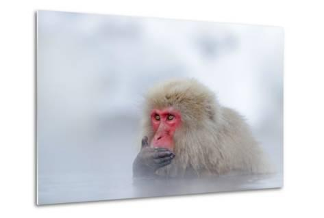 Monkey Japanese Macaque, Macaca Fuscata, Red Face Portrait in the Cold Water with Fog and Snow, Han-Ondrej Prosicky-Metal Print