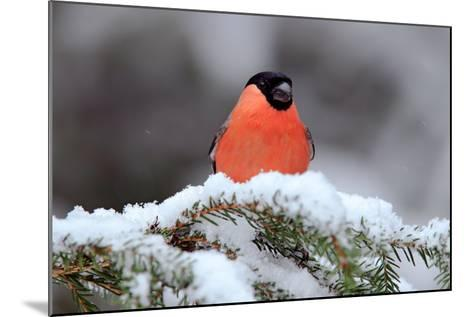 Red Songbird Bullfinch Sitting on Snow Branch during Winter. Wildlife Scene from Czech Nature. Beau-Ondrej Prosicky-Mounted Photographic Print