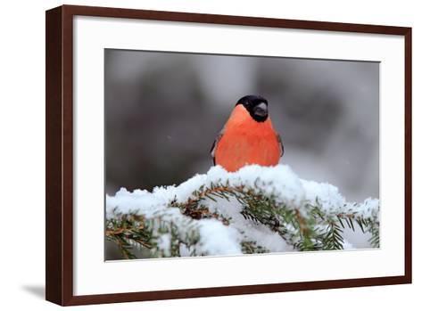 Red Songbird Bullfinch Sitting on Snow Branch during Winter. Wildlife Scene from Czech Nature. Beau-Ondrej Prosicky-Framed Art Print