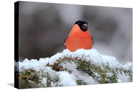 Red Songbird Bullfinch Sitting on Snow Branch during Winter. Wildlife Scene from Czech Nature. Beau-Ondrej Prosicky-Stretched Canvas Print