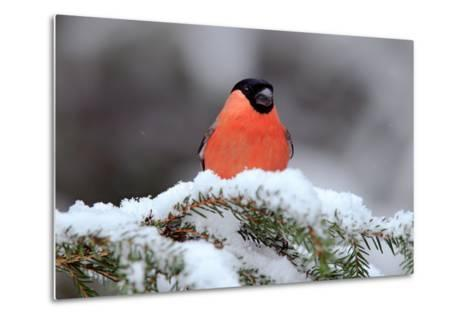 Red Songbird Bullfinch Sitting on Snow Branch during Winter. Wildlife Scene from Czech Nature. Beau-Ondrej Prosicky-Metal Print