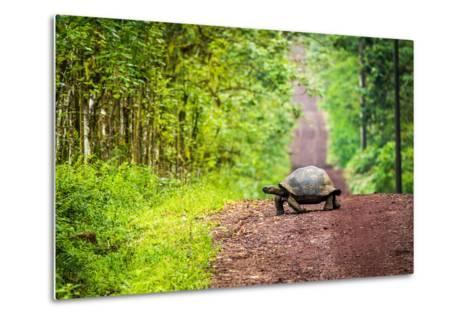 Galapagos Giant Tortoise Crossing Straight Dirt Road- nwdph-Metal Print