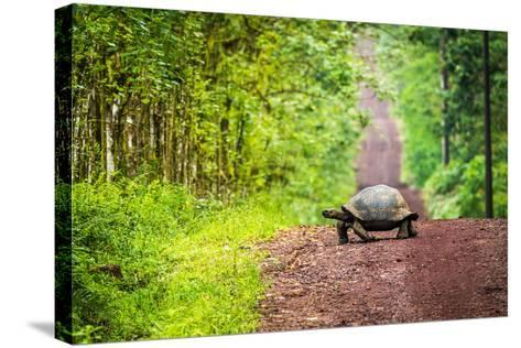 Galapagos Giant Tortoise Crossing Straight Dirt Road- nwdph-Stretched Canvas Print