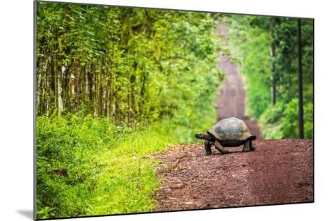 Galapagos Giant Tortoise Crossing Straight Dirt Road- nwdph-Mounted Photographic Print