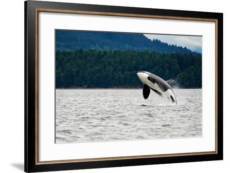 Killer Whale Breaching near Canadian Coast- Doptis-Framed Art Print