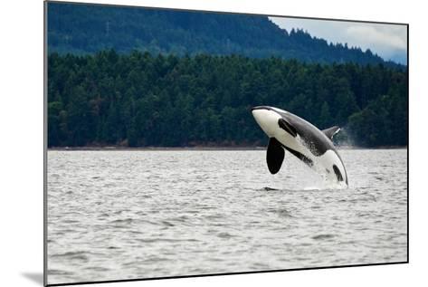 Killer Whale Breaching near Canadian Coast- Doptis-Mounted Photographic Print