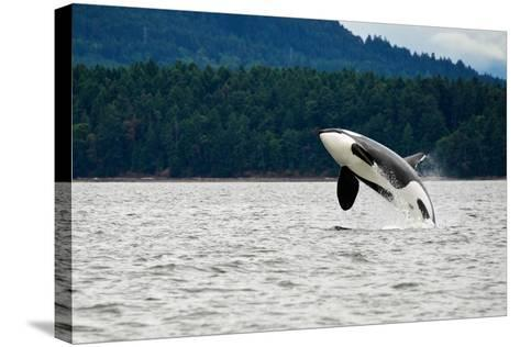 Killer Whale Breaching near Canadian Coast- Doptis-Stretched Canvas Print