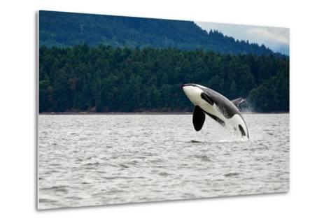 Killer Whale Breaching near Canadian Coast- Doptis-Metal Print