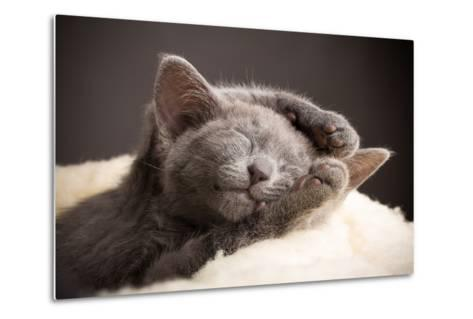 Kitten Sleeping, Russian Blue Cat.-Gita Kulinitch Studio-Metal Print