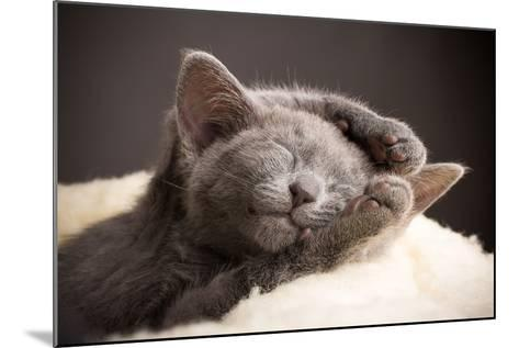 Kitten Sleeping, Russian Blue Cat.-Gita Kulinitch Studio-Mounted Photographic Print