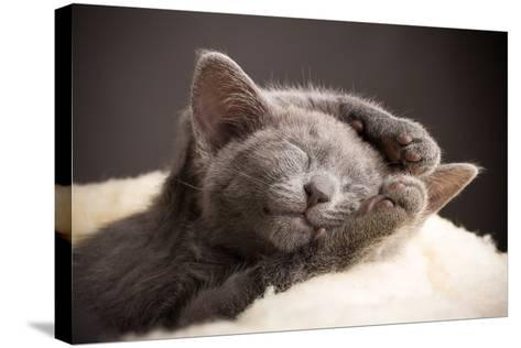 Kitten Sleeping, Russian Blue Cat.-Gita Kulinitch Studio-Stretched Canvas Print