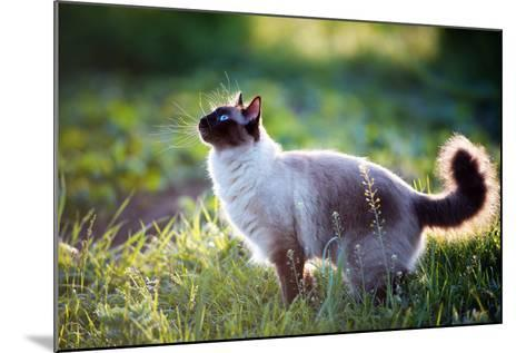 The Beautiful Brown Cat, Siamese, with Blue-Green Eyes Lies in a Green Grass and Leaves-Bershadsky Yuri-Mounted Photographic Print