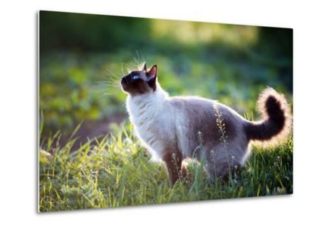 The Beautiful Brown Cat, Siamese, with Blue-Green Eyes Lies in a Green Grass and Leaves-Bershadsky Yuri-Metal Print