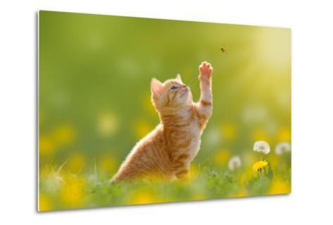 Young Cat / Kitten Hunting a Ladybug with Back Lit- Photo-SD-Metal Print